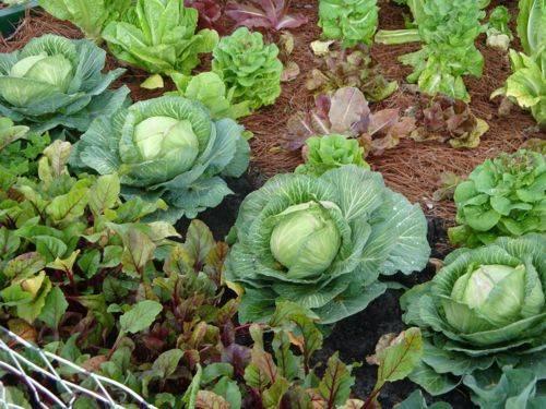 summer vege garden